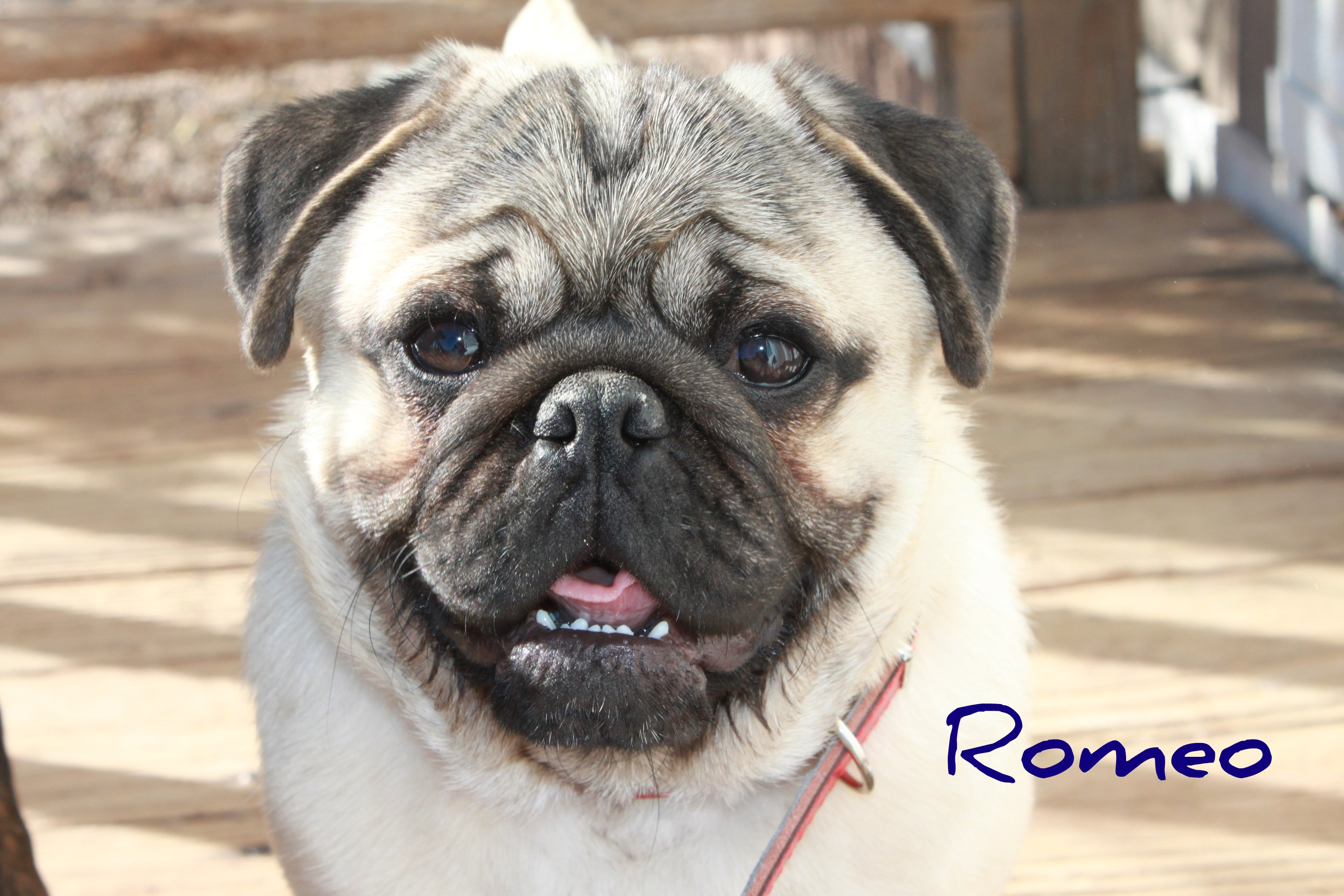 Romeo the love dr d o b 5 24 10 akc registered